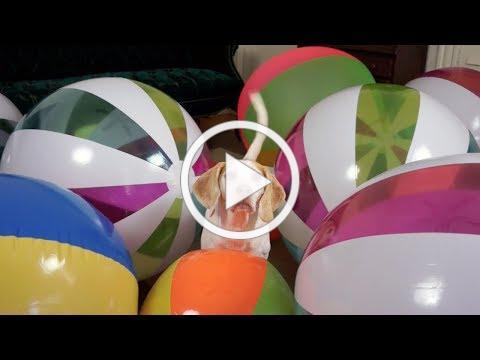 Beach Ball Birthday Surprise for Cute Dog Maymo!