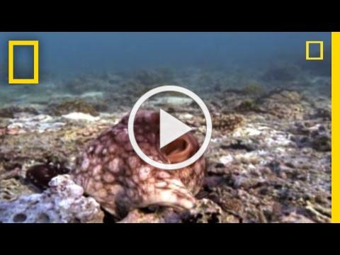 Amazing%20Octopus%20Color%20Transformation%20%7C%20National%20Geographic