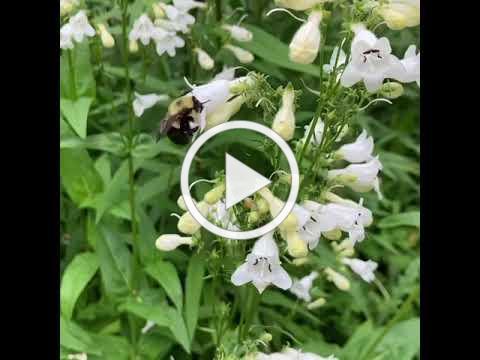 Bumble bee on Penstemon digitalis