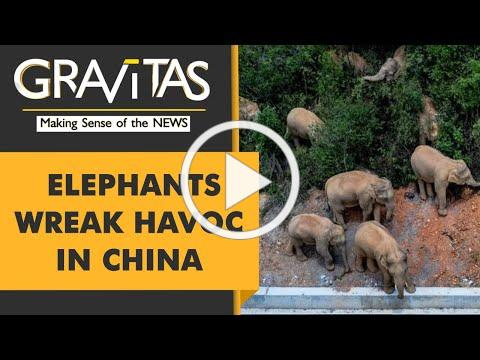 Gravitas: Poetic Justice? Elephants on the loose in China