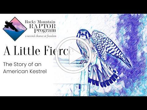 A Little Fierce - An American Kestrel's Story