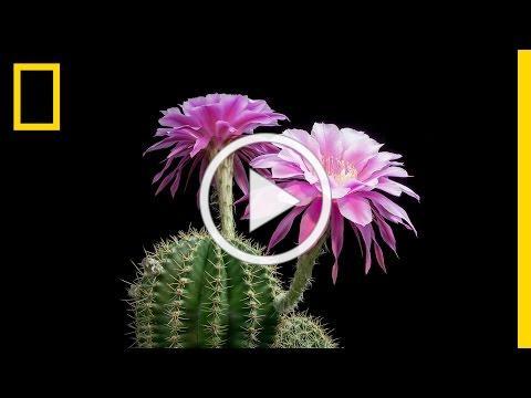 Time-Lapse: Beautiful Cacti Bloom Before Your Eyes | Short Film Showcase