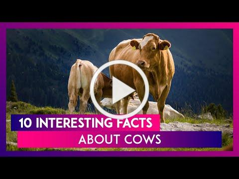 Cow Appreciation Day 2020: 10 Interesting Facts About The Farm Animal