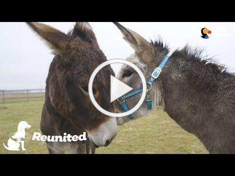 Donkey Mom Is SO Excited To See Her Baby Again   The Dodo Reunited