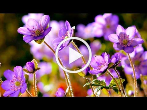 FLOWERS CAN DANCE!!! Amazing nature/ Beautiful blooming flower time lapse video