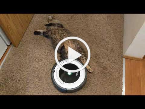 Roomba vs. Lazy Cat 🦥