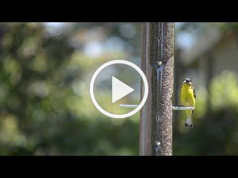 WBU Nature Centered | Relax & Enjoy the Birds | Goldfinches