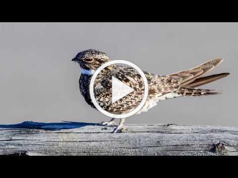 Migrant Monday: Comon Nighthawks