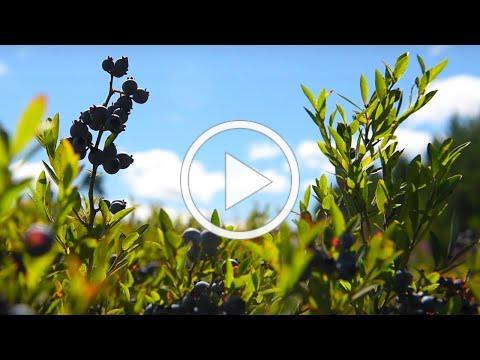 Maine's Wild Blueberries