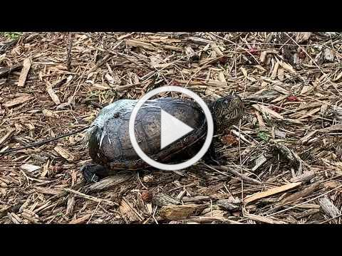 SCCF Tracking a Florida Mud Turtle on Sanibel