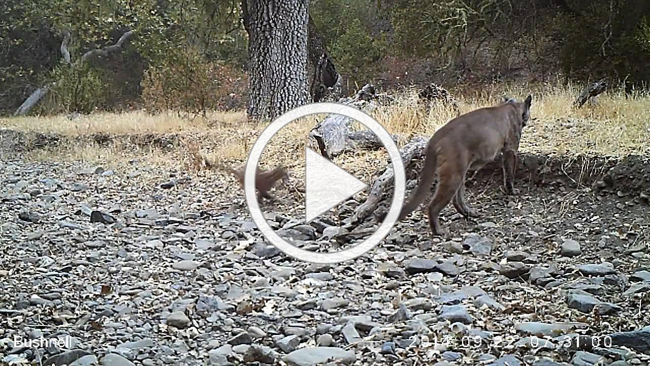 F1, our first East Bay lion, with new kitten - Protective mother puma in SF Bay Area research