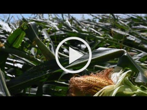 Options for derecho-damaged crops and cover crops