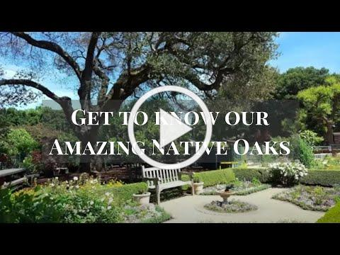 Getting to Know Our Amazing Native Oaks