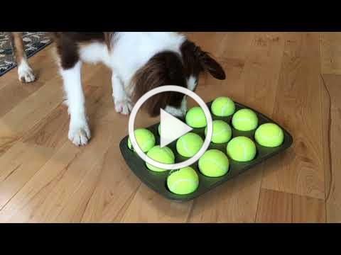 The Muffin Tin Game - Mental Enrichment for Your Dog