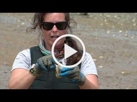 Learn to Shellfish - Episode 2   Softshell Clams or Steamah's!