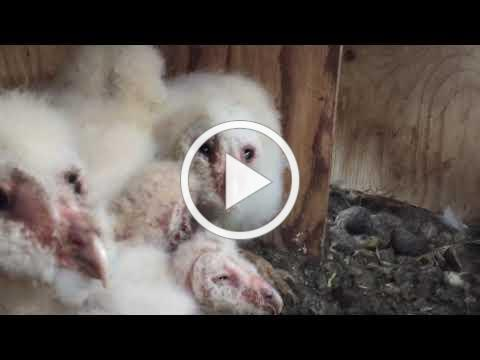Barn Owlets in Box Prior to Repairs