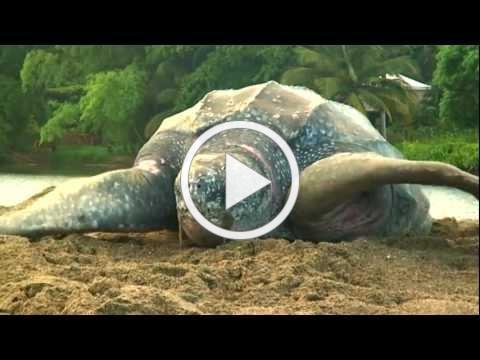 Sea Turtle Nesting Video