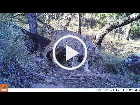 Bobcat caching a feral hog carcass