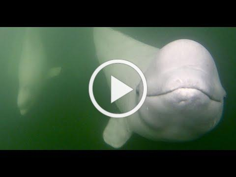 Belugas, Bears & Summer Wildlife of Churchill