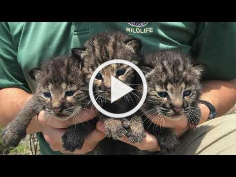 Save Kiawah Bobcats