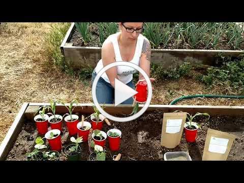 Day 8 Transplanting Seedlings