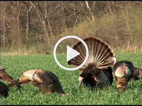 Kansas Turkey Hunting, Kansas Turkey Hunt, Turkey Hunting