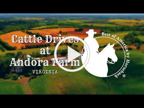 Cattle Drives at Andora Farm (2019)