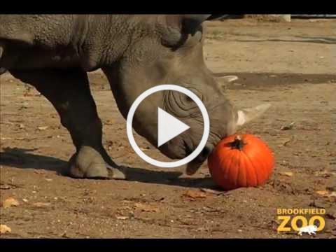 Animals Receive Halloween Pumpkins