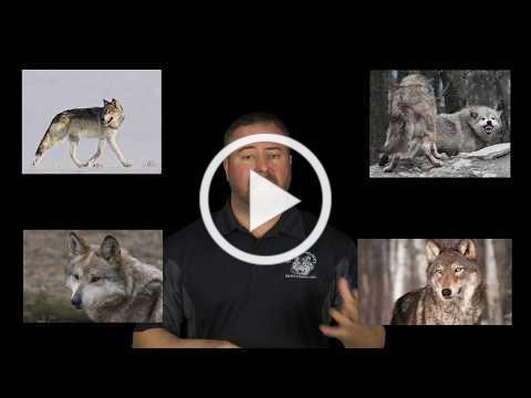 Wolf Awareness Week 2018 - Shy Wolf Sanctuary