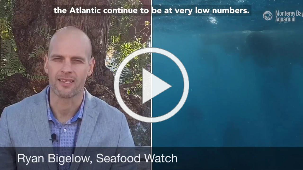 Bluefin Tuna Update from Seafood Watch