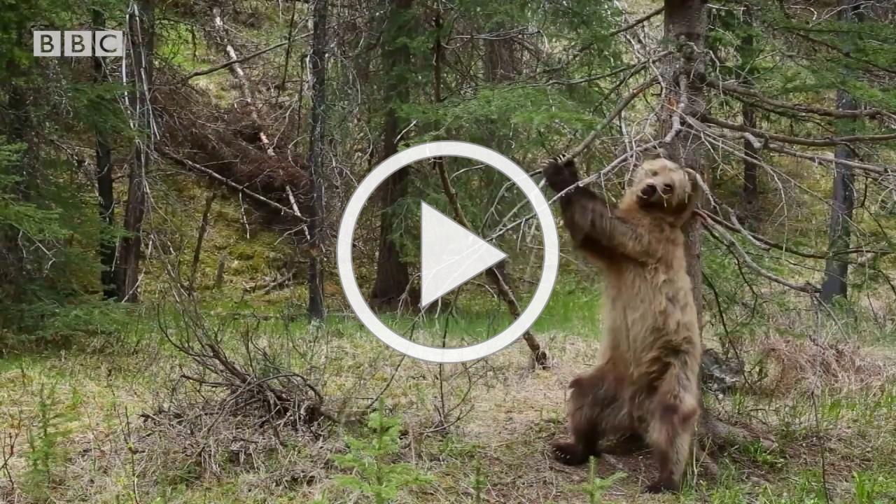 Bears Dancing To 'Jungle Boogie' | Planet Earth II