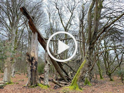 Wild New Forest Vlog: The life and death of New Forest Beech trees