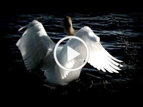 Tchaikovsky - Swan Lake (Swan Theme)