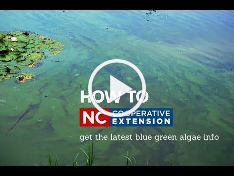 Blue Green Algae Info