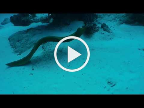 Thirty Seconds With a Green Moray