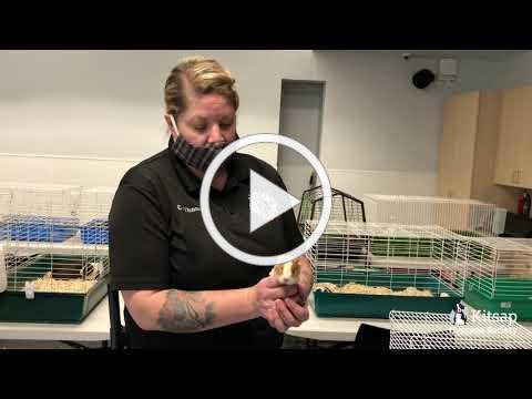 KHS Rescue of 54 Guinea Pigs