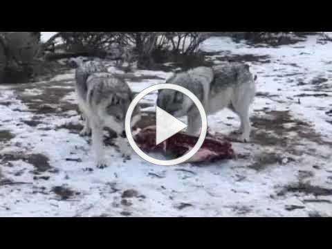 Wolf reluctant to share elk carcass