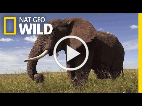 Elephants 101 | Nat Geo Wild