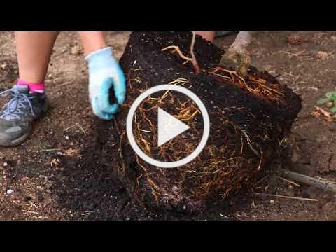 How to Plant a Tree ... Moana Nursery