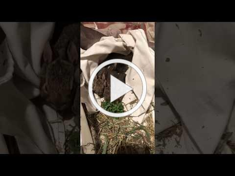 Eastern Cottontails Eat Solid Food for the First Time!