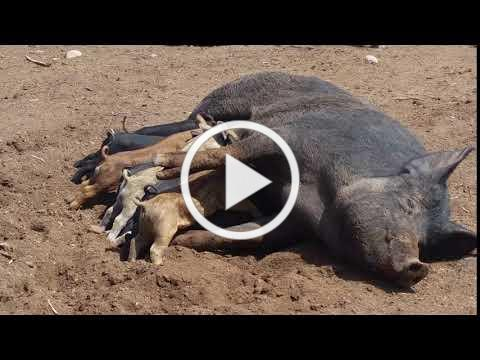 Sow with piglets at feeding time
