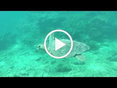 Loggerhead Encounter Snorkeling Florida Keys