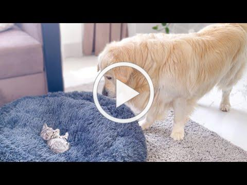 Golden Retriever Shocked by a Kitten occupying his bed!