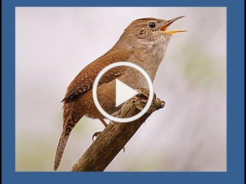 The Sounds of Summer : Identifying the Songs of Our Backyard Birds with Jean Williams (Aug 8, 2020)