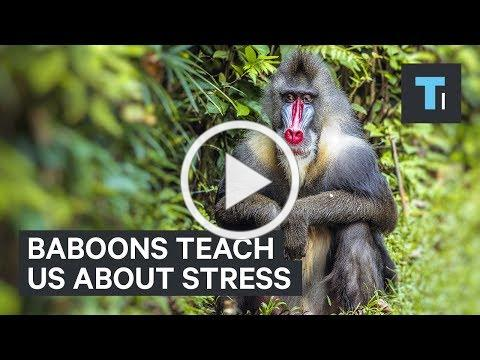 What Baboons Can Teach Us About Dealing With Stress