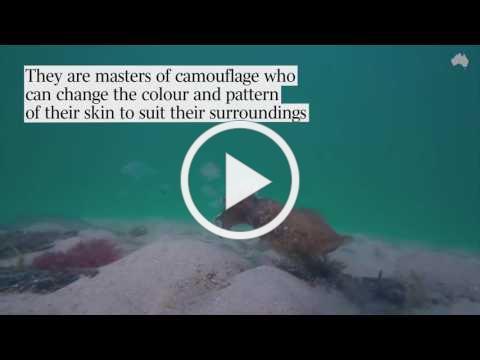 Cuttlefish Hunting Prey | CUTTLEFISH BOLERO | Australian