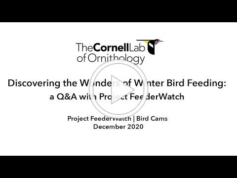 Discovering the Wonders of Winter Birds Feeding: a Live Q&A with Project FeederWatch