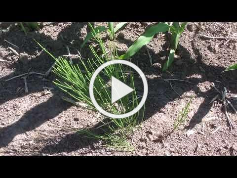 Troublesome Weeds: Horsetail