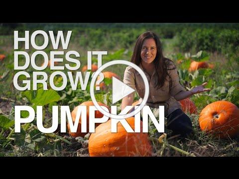 PUMPKIN | How Does it Grow?