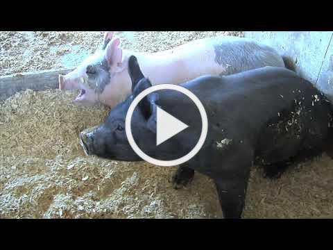 Hog Farmers Under Attack in North Carolina. Is Georgia Next?